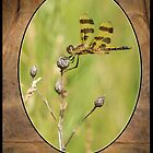 Dragon Fly On Tortoise Shell by Thomas Young