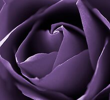 Purple Rose by Waggywag