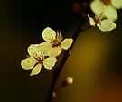 Cherry Blossom by Ingrid Beddoes