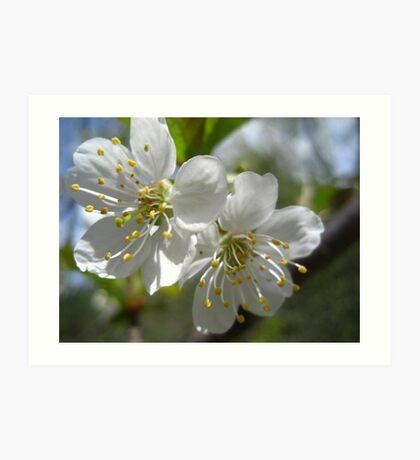 Apple Blossums in Spring Art Print