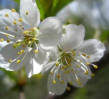 Apple Blossums in Spring by maxy