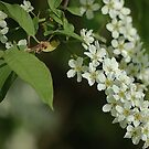 A chokecherry by loiteke
