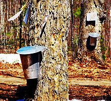 Maple Syrup Time by Kelly  McAleer