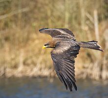 Yellow Billed Kite by M.S. Photography/Art
