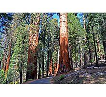 Sequoia Drive Photographic Print