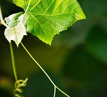 Green Grape Vine by Christina Rollo