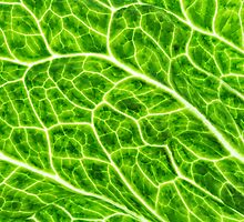 Lettuce by tdixon8875