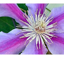 Purple Clematis blossom Photographic Print