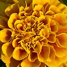 yellow flower poster print closeup macro by Sheila McCrea