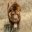 Lion - Male by DPalmer