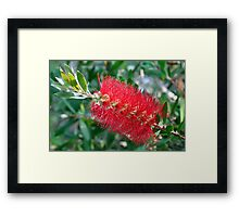 Bottle Brush Tree Blossom Framed Print