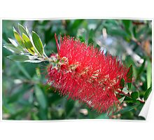 Bottle Brush Tree Blossom Poster