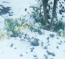 Daffodils in the Snow by Moonelighte