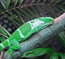 Iguana by Jesse Lewis