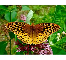Great Spangled Fritillary (Speyeria cybele) on Milkweed Photographic Print