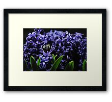 Purple Hyacinth group Framed Print