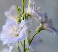 Delphiniums by AnnieD