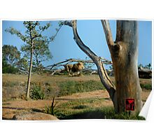 African Lion Running Large Poster