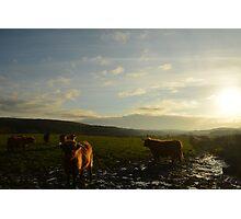 Highland Cattle 2 Photographic Print