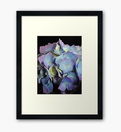 Blue and Purple Hydrangea Framed Print