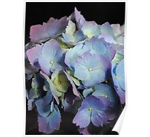 Blue and Purple Hydrangea Poster