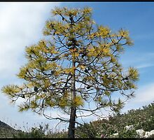 Lovely little pine-tree by daffodil