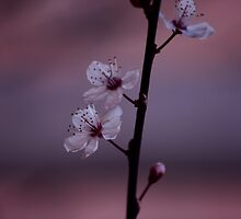 Silky Pink Blossom by Ingz