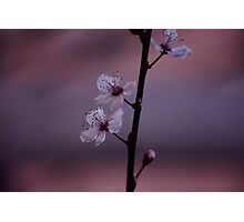 Silky Pink Blossom Photographic Print