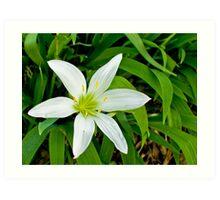 Luminescent Lily Art Print
