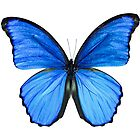 Blue Morpho by boehmgraphics