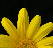 Yellow Marguerite Daisy by Tom Carswell