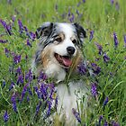 Australian Shepherds by Anne Smyth