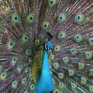 Portrait of a Peacock by Paula Bielnicka