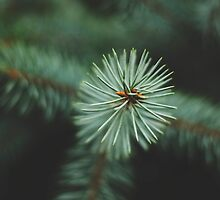 pine trees  by brsterns