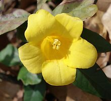 Carolina Jessamine by May Lattanzio