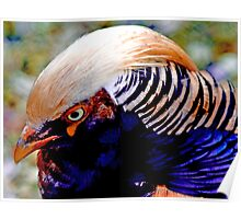 Chinese Pheasant Poster