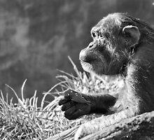 Chimpanzee Profile by Dan Jesperson