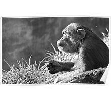 Chimpanzee Profile Poster