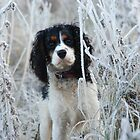 Chilled out Cavalier! by Maddie