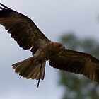 Whistling Kite by Michael Fotheringham Portraits