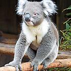 Koala - Ballarat Wildlife Park by forgantly