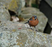 Chaffinch at Farndale by dougie1