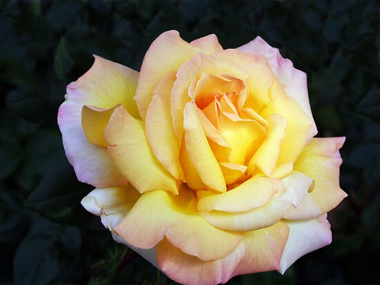Birthday Rose by Paul Albert
