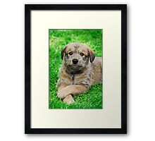Cool-Puppy, Berger Picard  Framed Print