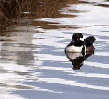 After the Storm-Hooded Merganser by lloydsjourney