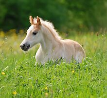 Foal in a sea of tall grass by Katho Menden