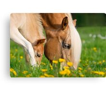 Common dinner, foal with mom Canvas Print