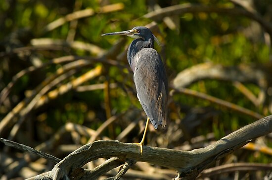 A Tri-Color Heron by Michael Wolf