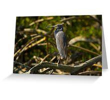 A Tri-Color Heron Greeting Card