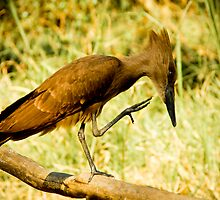 Hamerkop, Malawi by Tim Cowley